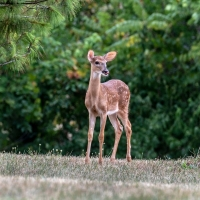 deer;animal;wild;fawn;fawns;missouri;wildlife;nature