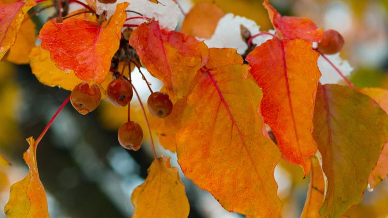 Fall Colors;Cherries;berries;yellow;orange;snow;Indiana;midwest
