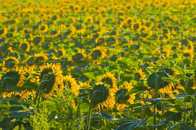 Flower;flowers;Sunflowers;yellow;green;Indiana;MIdwest;Miami County