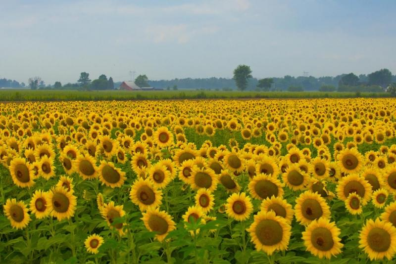 Flower;flowers;Sunflower;Indiana;Yellow;Midwest;Howard County;barm:farm