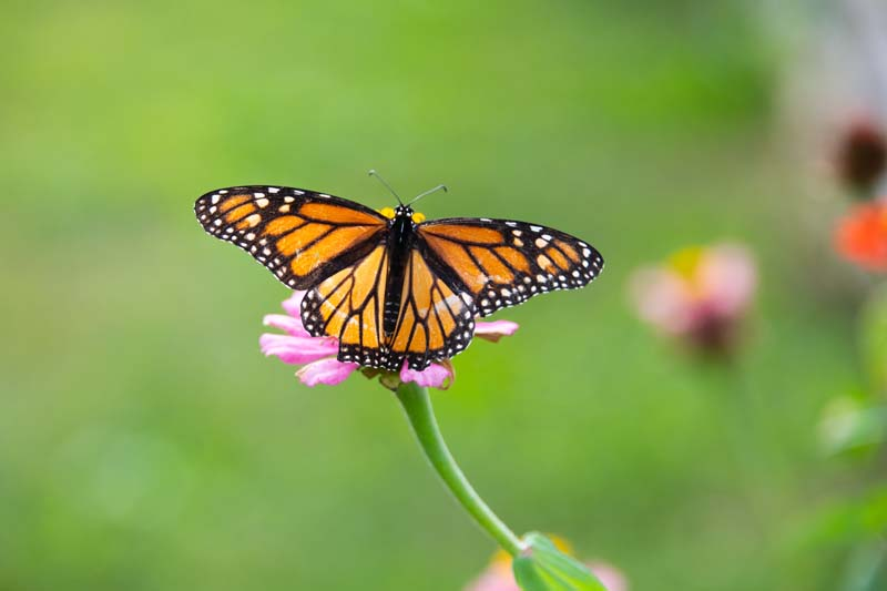 Butterfly;yellow;orange;Indiana;Howard County;Nature;Midwest;pink;beauty;green;Monarch