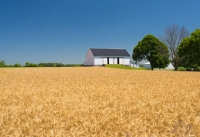 Barn;Barns;Farm;Farmiing;Farms;Rural;Indiana;Hamilton-County;White;Blue;Gold-Golden;Wheat-Field;Crop