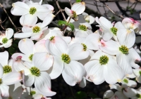 Flowers;Flower;White;Dogwood;Tree;Indiana;Midwest;In;Spring