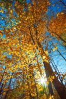 Fall-Colors;Orange;Yellow;Blue;Howard-County;Indiana;Midwest;Folage;Leaves;Fall;Sunrise;Vertical