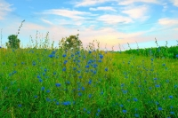 Flowers;wild-flowers-Howard-County;Sunrise;blue;green;gold;Midwest;flora;nature