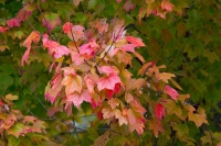 Leaves;Fall-Colors;Indiana;Midwest;Howard-County;red;orange;green
