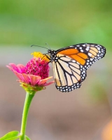 Butterfly;yellow;orange;Indiana;Howard-County;Nature;Midwest;pink;beauty;green;Monarch
