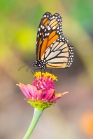 Butterfly;yellow;orange;Indiana;Howard-County;Nature;Midwest;pink;macro;flower;beauty;Monarch