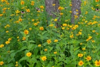 Flowers;wild-flowers;Woods;woodland;rural;yellow;Indiana;Midwest;Hamilton-County;green;trees;beautif