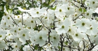 Flowers;Flower;Indiana;Spring;Green;Woods;Gibson-County;Midwest;Dogwoods