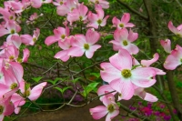 Flowers;Flower;Indiana;Spring;Green;Woods;Gibson-County;pink;Midwest;Dogwood;flora