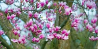 Flowers;Spring-Flowers;pink;Howard-County;Indiana;Macro;Flora;Nature;tulip-tree;Midwest;Mural