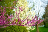 Flowers;Spring-Flowers;pink;red;Redbud;Howard-County;Indiana;Macro;Flora;Nature