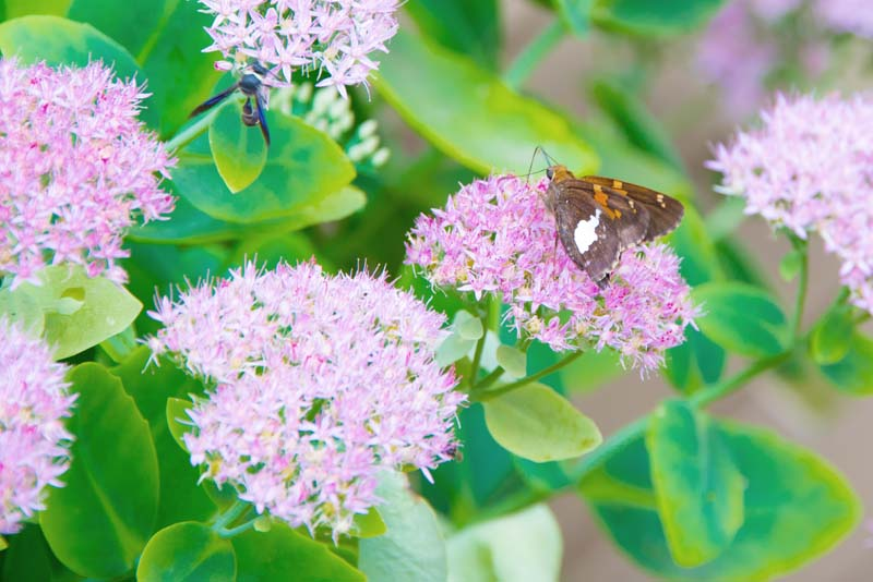 Flowers;flora;pink;green;Indiana;Midwest;nature;Howard County;Macro:butterfly;brown;orange