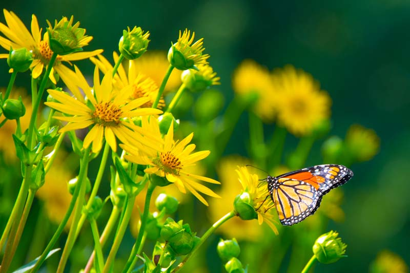 Butterfly;green;yellow;Howard County;Indiana;Nature;flower;wild flowers