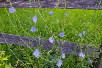 Flowers;flower;corn-flower;blue;green;gray;weathered-wood;Indiana;Midwest;rural