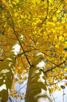 Aspens;Trees;Fall-Colors;Vertical;Aspen;Colorado;West;Yellow;Orange