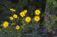 Flower;flowers;yellow;Indiana;Midwest;Fulton-County;wildflowers