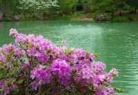 Floweres;spring-flowers;pink;green;lake;Azalela-Walk;Gibson-County;nature;Indiana;Midwest