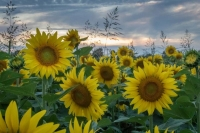 Sunflowers;clouds;sky;plants;flowers;nature;landscape;horizontal