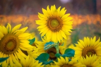 Sunflowers;plants;flowers;nature;landscape;horizontal