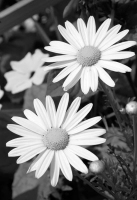black-and-white;vertical;flower;floral;flowers;daisy;bw;flora