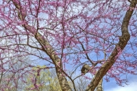 dogwood-canyon;mo;missouri;nature;spring;lampe;red-bud;tree