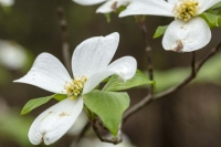 flower;flora;nature;dogwood;tree;plant;spring