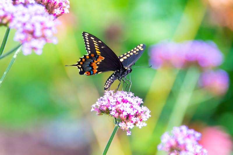 Butterfly;yellow;orange;Indiana;Howard County;Nature;Midwest;pink;macro;flower;beauty;Black;Swallowtail