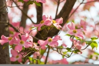 Flowers;Spring-Flowers;pink;Howard-County;Indiana;Macro;Flora;Nature;tulip-tree;Midwest;Dogwood