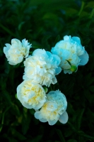 Flowers;Spring-Flowers;White;Howard-County;Indiana;Macro;Flora;Nature;vertical