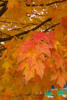 Leaves;Fall-Colors;Indiana;Midwest;Howard-County;red;orange;yellow;vertical