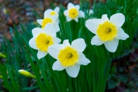 Flowers;Spring-Flowers;White;Yellow;Howard-County;Indiana;Macro;Flora;Nature
