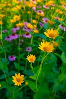 Flowers;flora;purple;green;Indiana;Midwest;nature;Howard-County;Macro;yellow;vertical