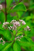 Flower;wild-flower;pink;green;beauty;Indiana;Midwest-Howard-County