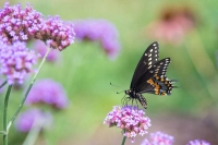 Butterfly;yellow;black;pink;beauty;flower;green;rural;Indiana;Howard-County;Nature;Midwest;macro