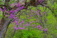 Tree;Redbud;nature;Indiana;Midwest;Howard-County;rural;pink;purple;green
