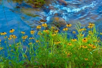 Flowers;wild-flowers;yellow;stream;brook;Indiana;Midwest;nature;Hamilton-County