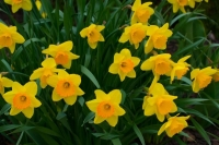 Flowers;Spring-Flowers;Yellow;Howard-County;Indiana;Macro;Flora;Nature
