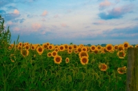Flower;flowers;sunflowers;yellow;green;pink;Indiana;Midwest;Howard-County;Sunrise;morning;rural;oran