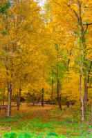 Leaves;Fall-Colors;Indiana;Midwest;Howard-County;vertical;orange;yellow