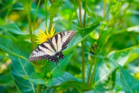 Butterfly;green;yellow;Howard-County;Indiana;Nature;flower;wild-flowers