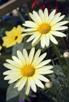 yellow;cream;white;vertical;flower;flowers;floral;daisy